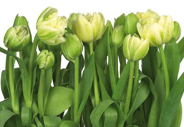 01800--tulips.jpg